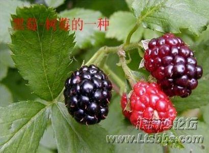 黑莓1.jpg